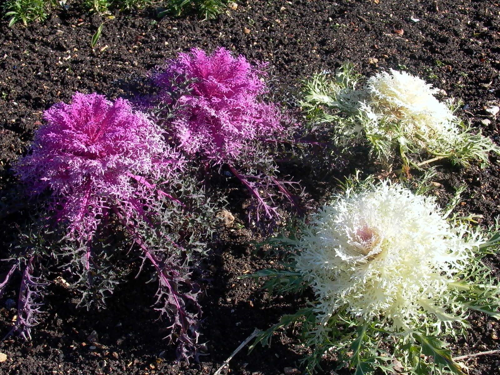 Du potager au jardin le chou d coratif prend des couleurs for Au jardin des couleurs
