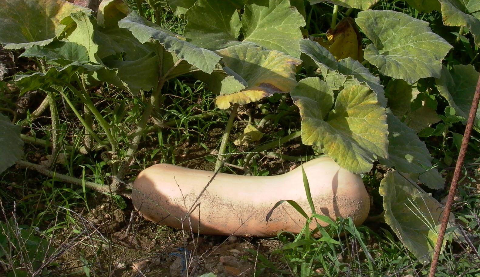Butternut un succ s largement m rit jardin pratique - Comment cuisiner courge butternut ...