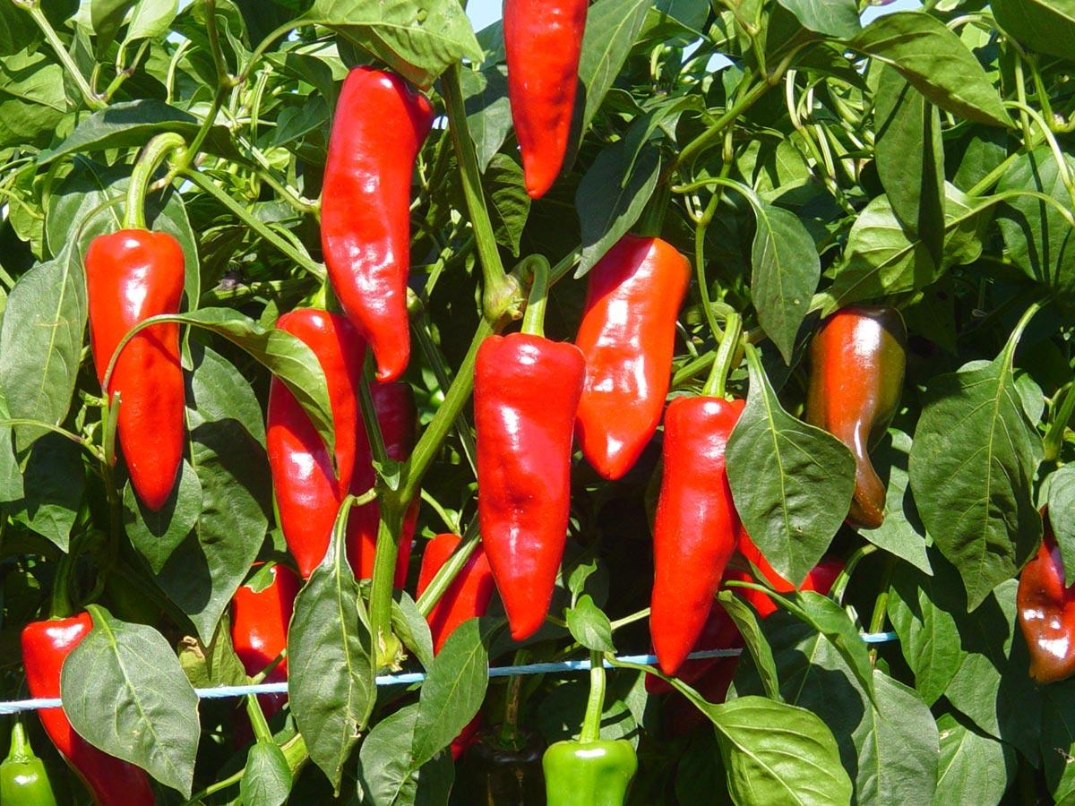 Le piment d espelette une des fiert s basques jardin pratique - Piment de cayenne culture ...