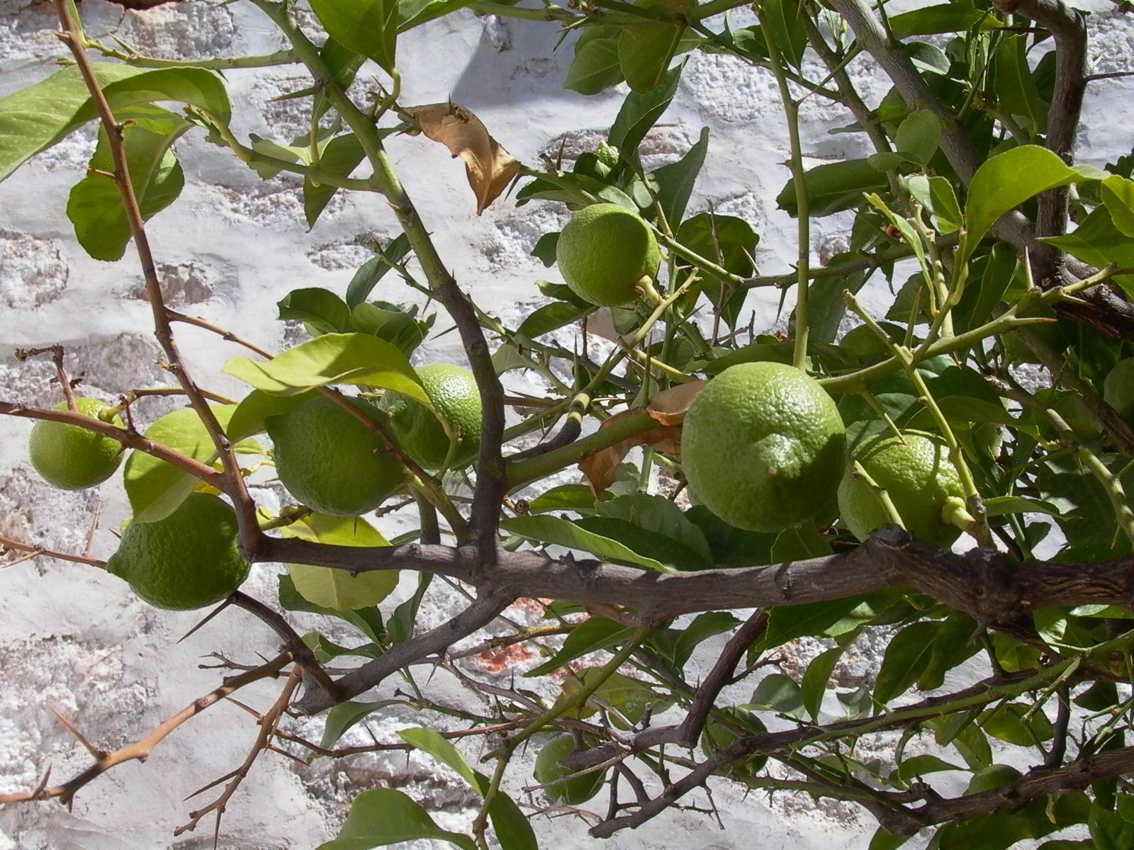 Comment Cultiver Un Citronnier En Pot citronnier : pour qu'il passe l'hiver sans encombre   jardin