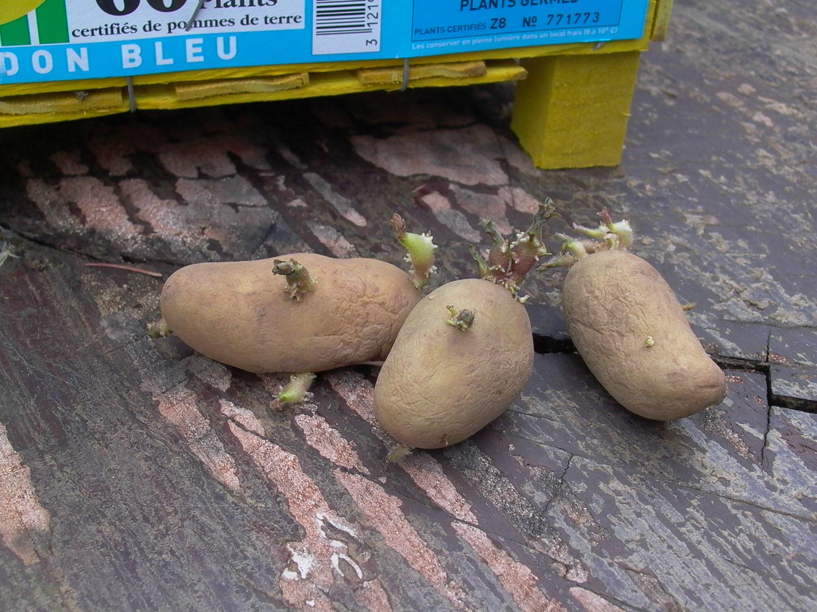 Pomme de terre il faut les pr germer jardin pratique - Faire germer des pommes de terre ...