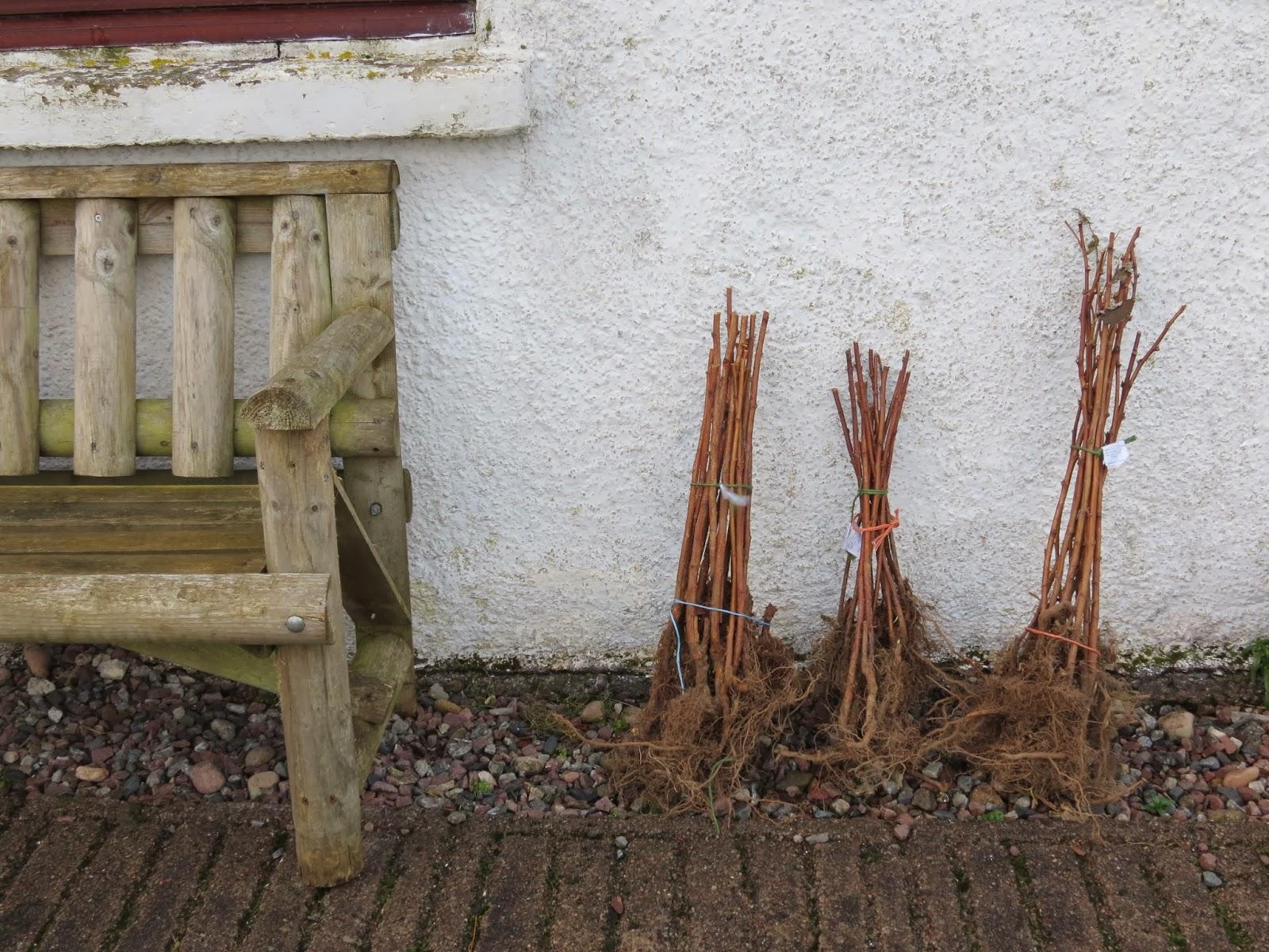 Framboisier cassissier groseillier c est le moment de planter jardin pratique - Ou planter un framboisier ...