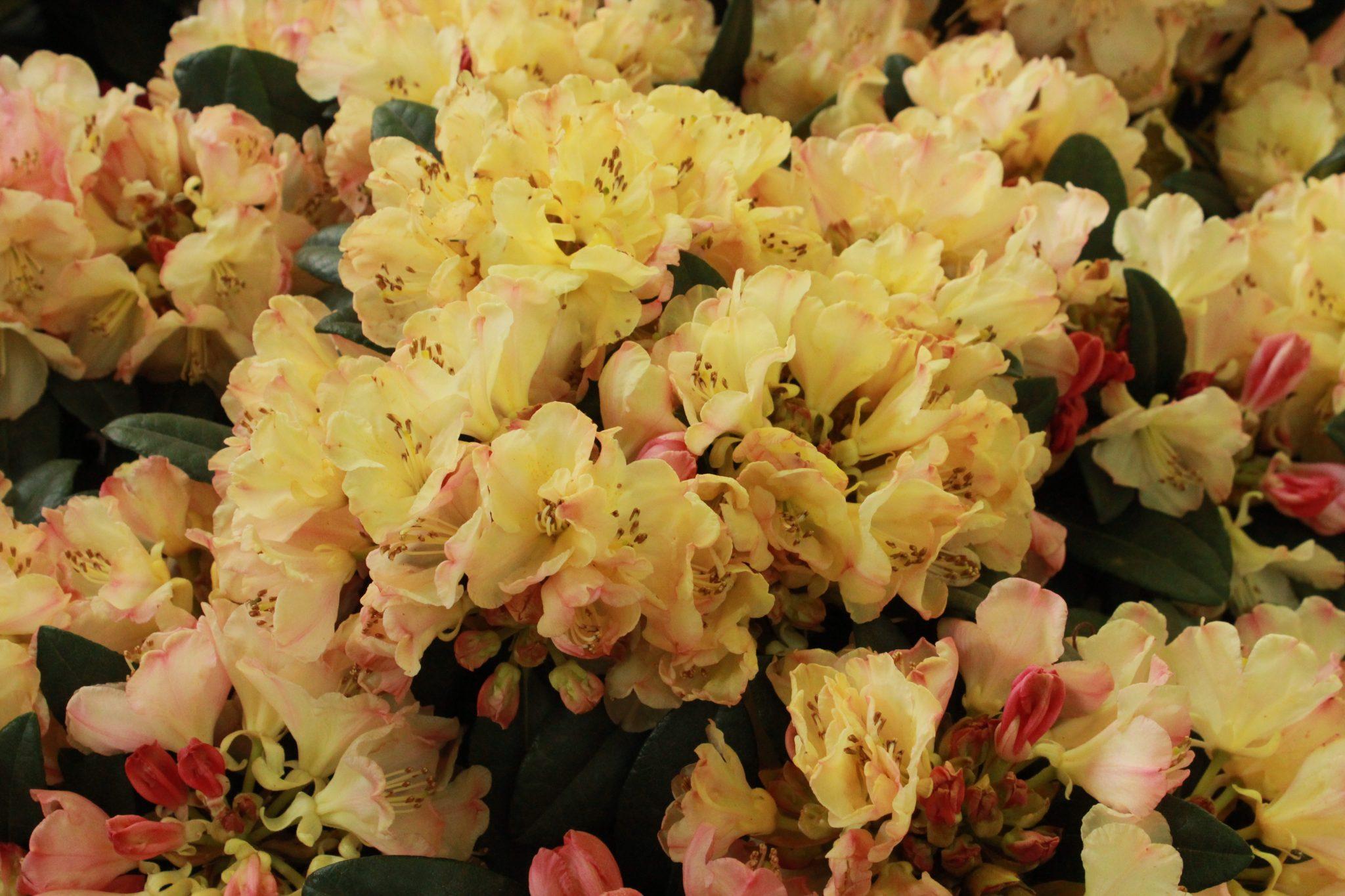 comme - Planter Un Rhododendron Dans Votre Jardin