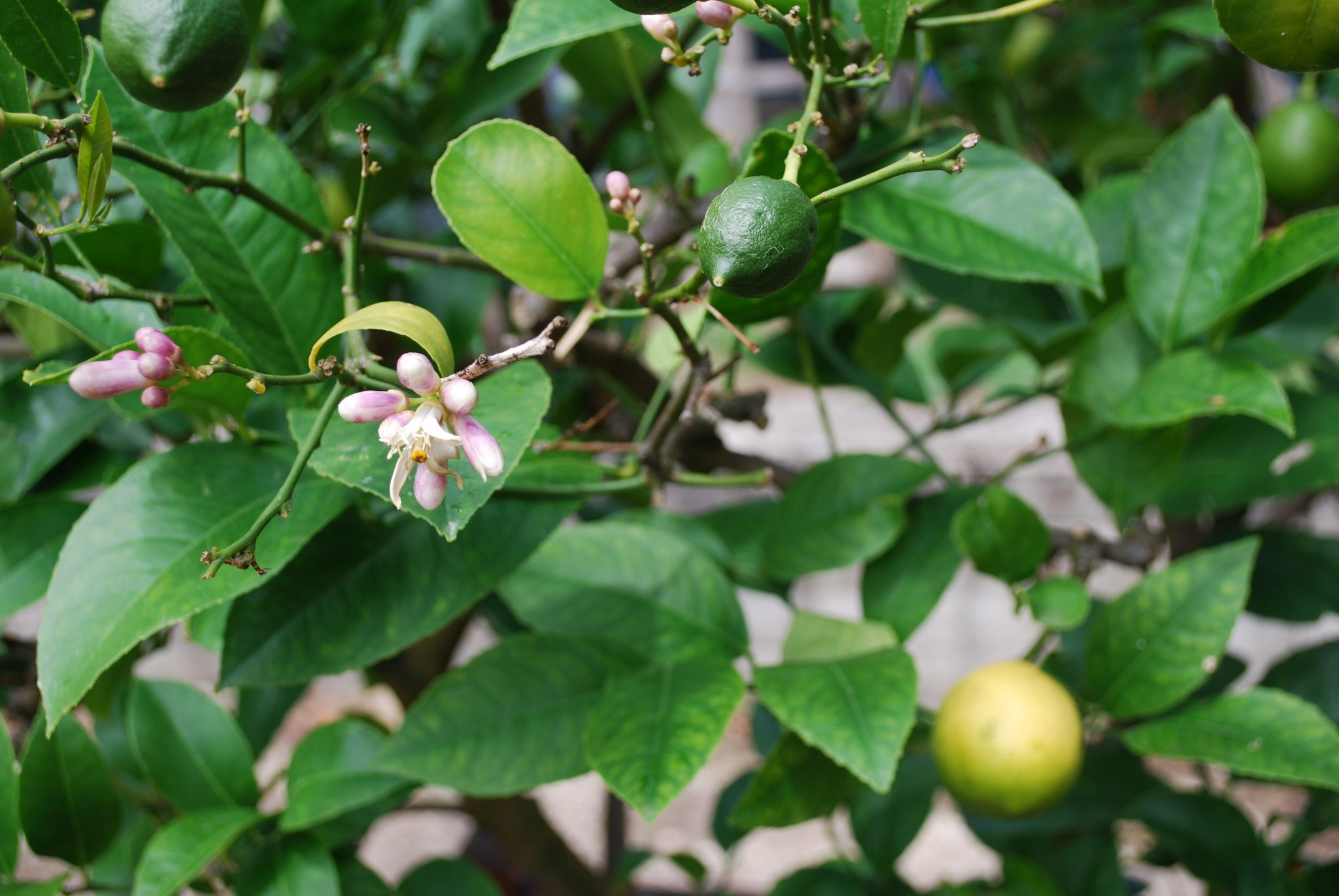 Citronnier attention aux parasites jardin pratique for Jardin citronnier