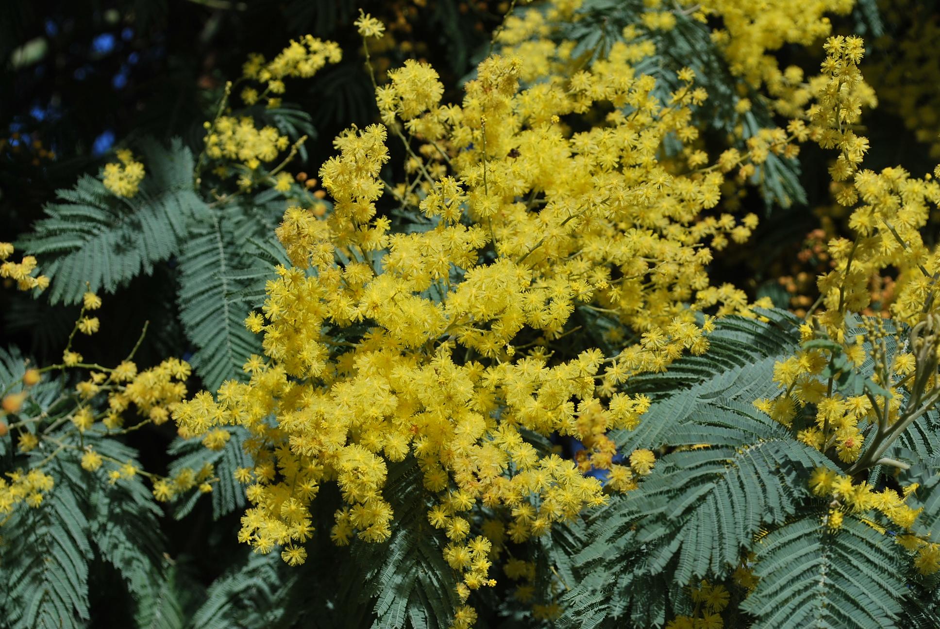 Bac Pour Arbuste De Jardin le mimosa en 8 questions | jardin pratique