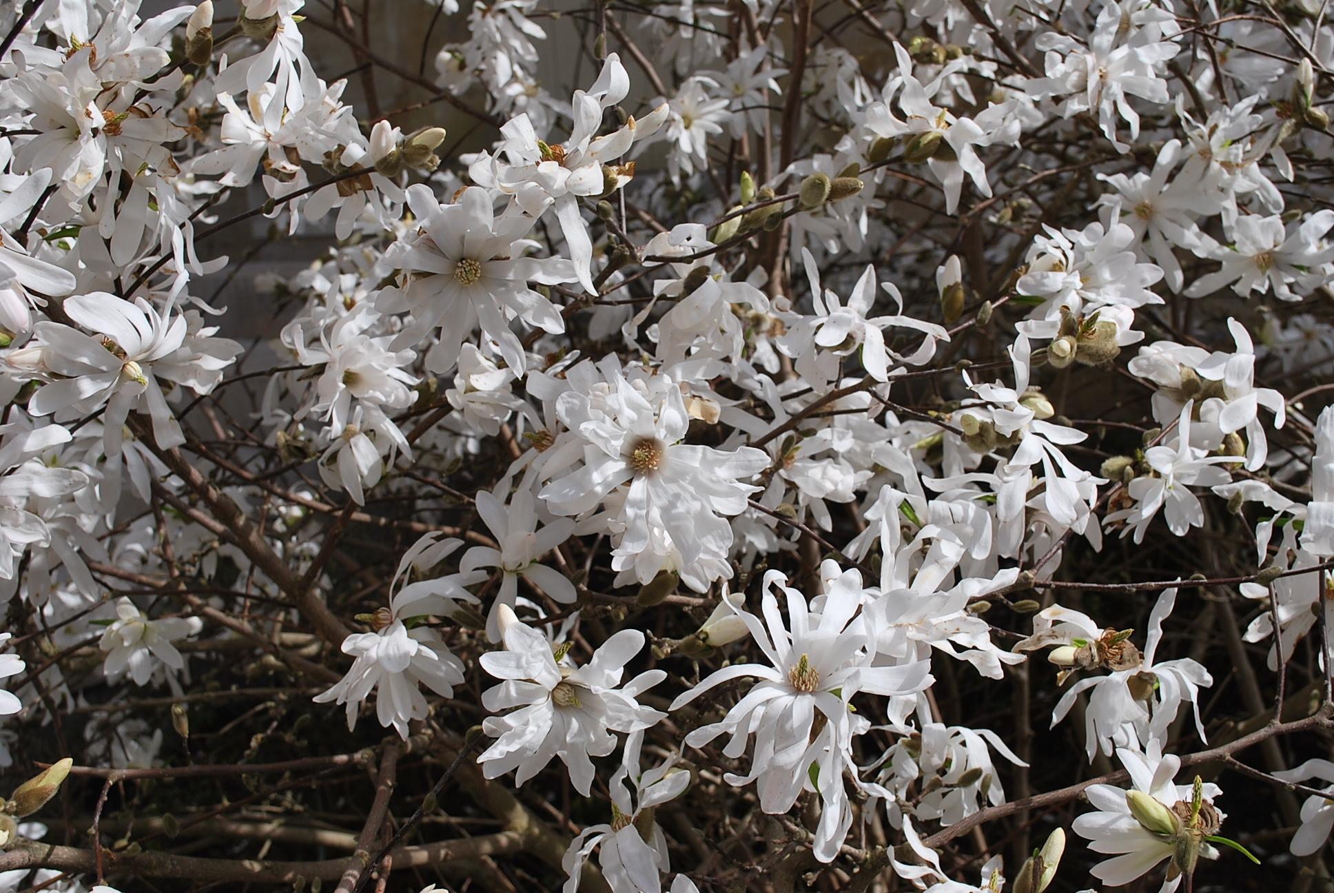 magnolia stellata et magnolia x loebneri jardin pratique. Black Bedroom Furniture Sets. Home Design Ideas
