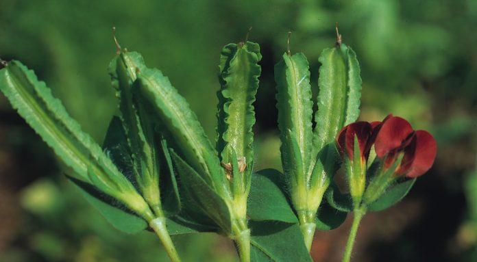 Pois asperge jardin pratique for Asperge plante interieur