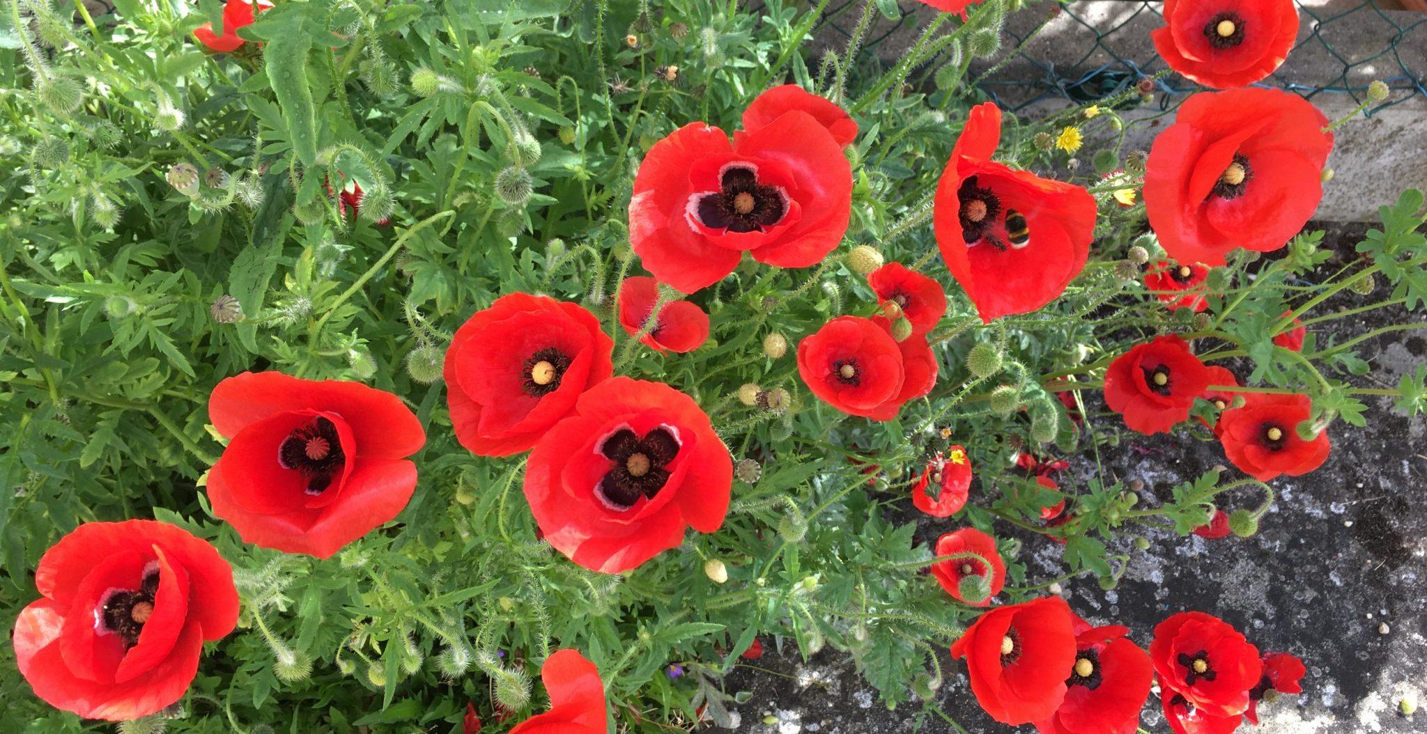 Planter Des Coquelicots Dans Son Jardin les coquelicots reviennent   jardin pratique