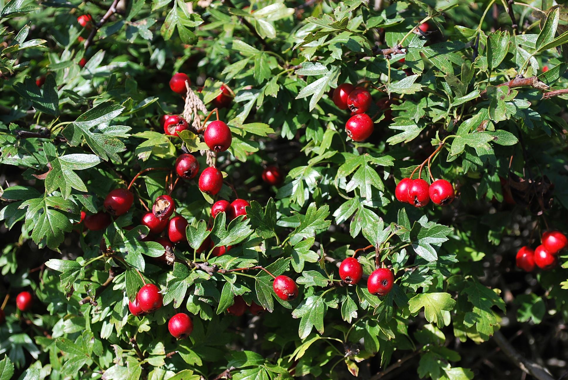 Les Plantes Miracles...Si le pire arrive...( Prophéties ) P35B-crataegus-fruits