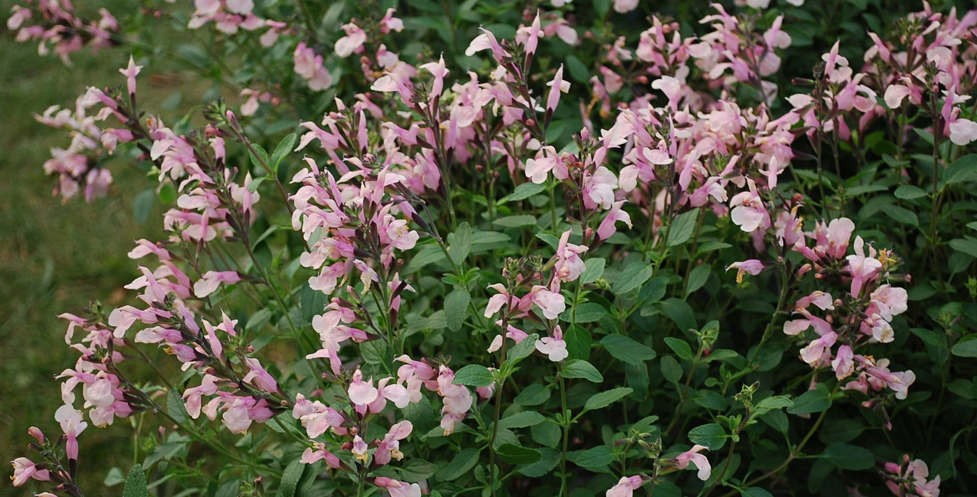Myrtacées Sauge-Salvia microphylla