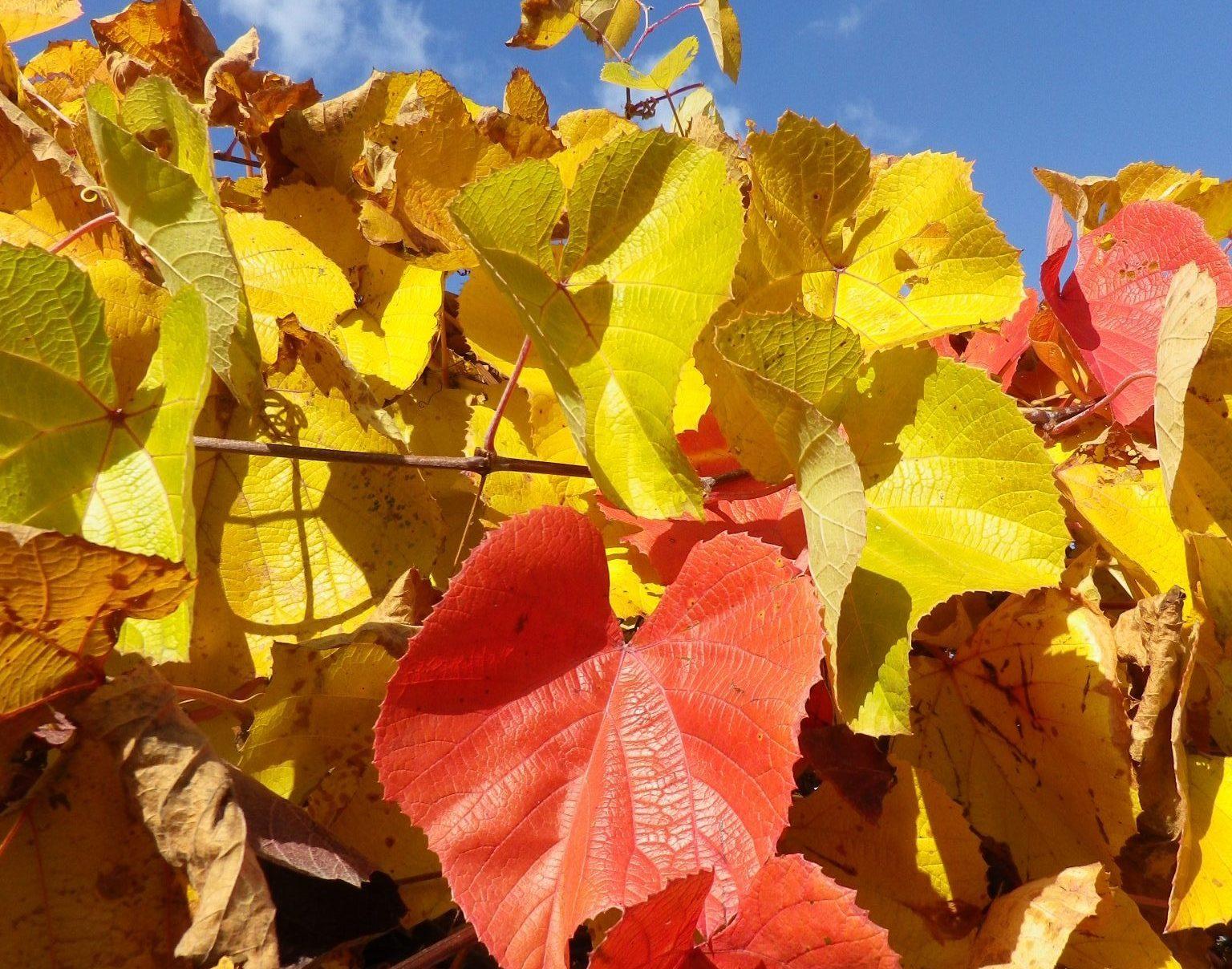 Comment Planter Une Vigne Grimpante planter une vigne sans raisin   jardin pratique