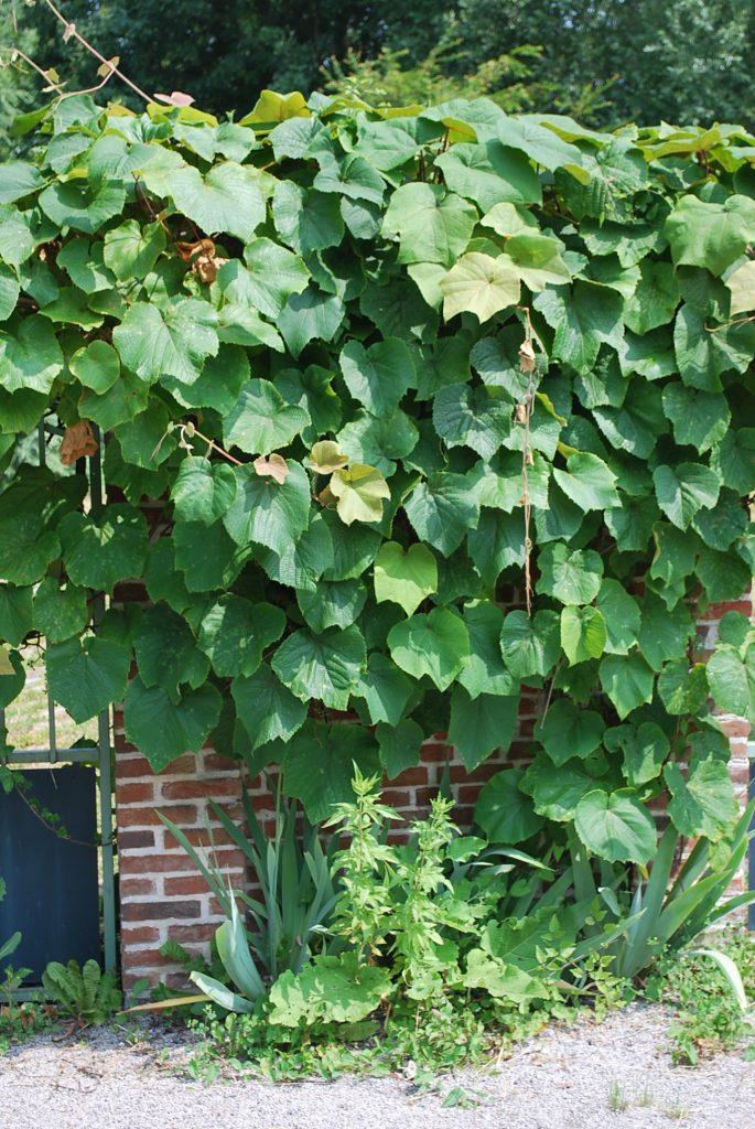Planter une vigne sans raisin | Jardin Pratique