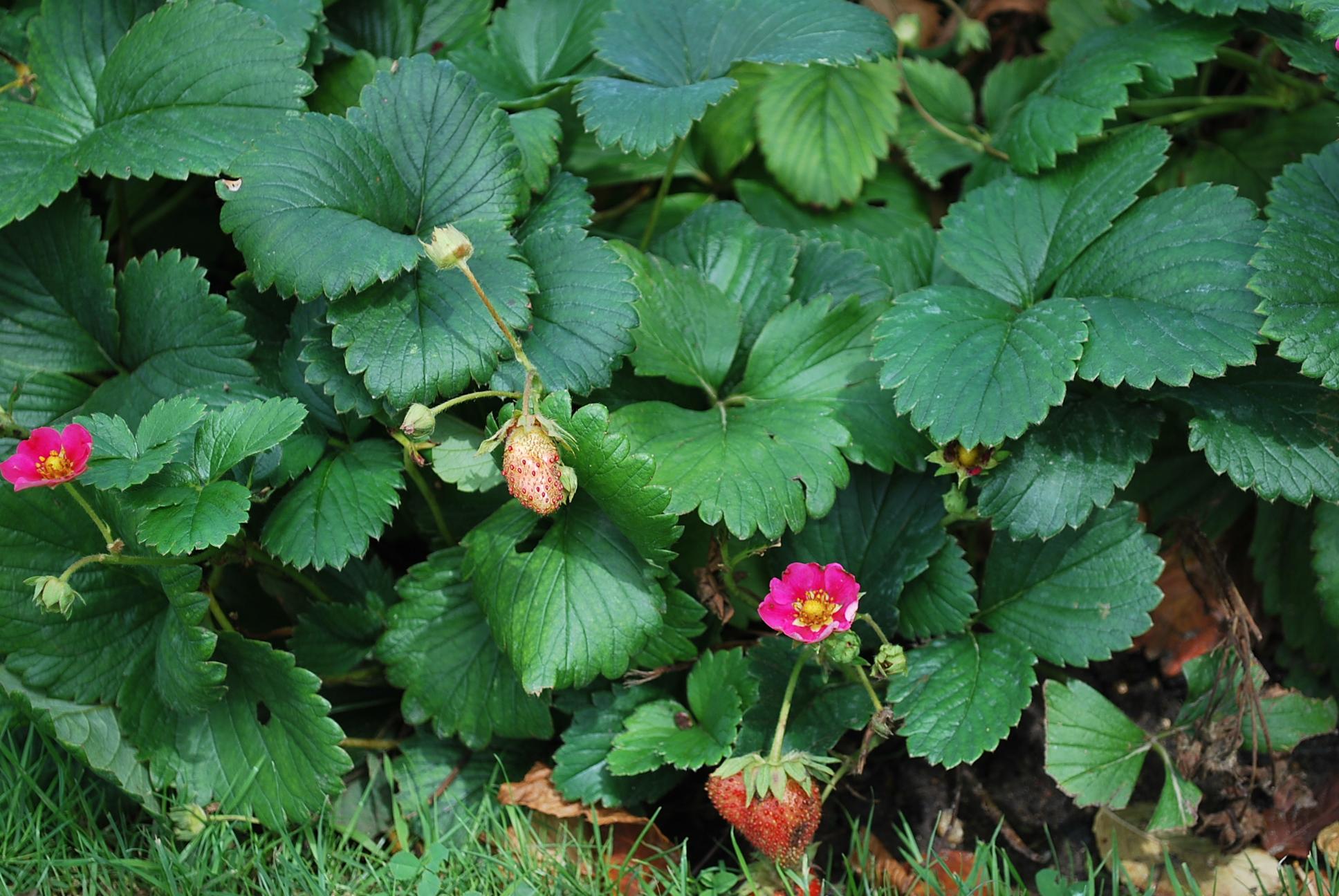 Quel Fruit Planter Au Printemps comment planter des fraisiers dès le milieu du printemps